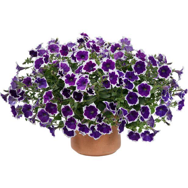 Petunia Aurora 'Violet Duo', Ø12 cm, Flerfärgad