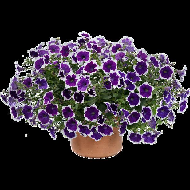 Petunia 'Aurora Violet Dua', Ø12 cm, Flerfärgad