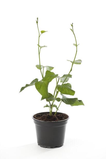 Sötpotatis, Ø10.5 cm, Flera färger