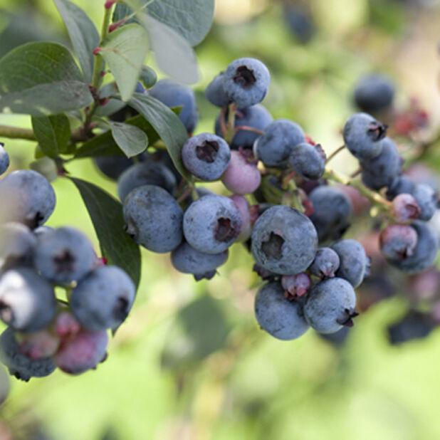 Hybridblåbär 'Polaris', Ø17 cm, Blå