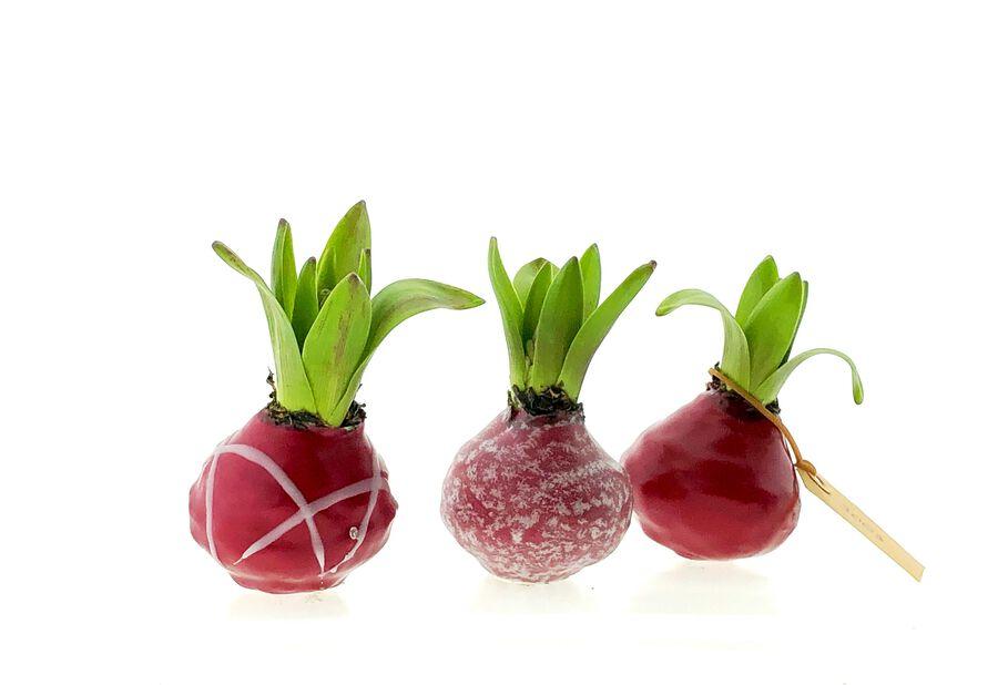 Vaxad Hyacint, Flera färger