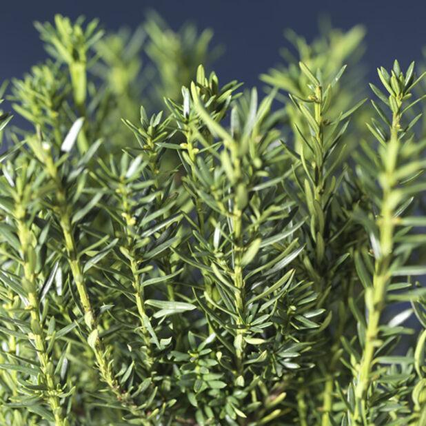 Hybrididegran 'Hillii', Höjd 40 cm, Grön