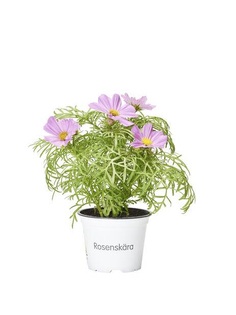 Rosenskära, Ø12 cm, Flera färger