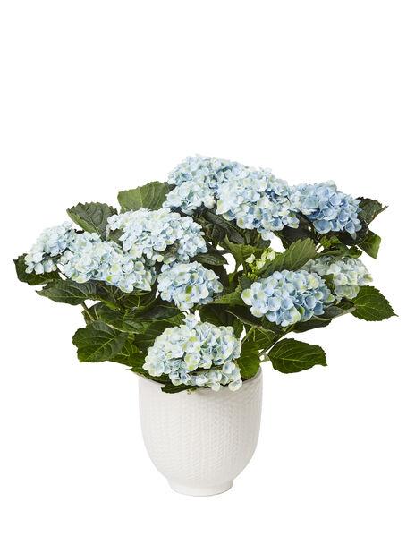 Hortensia 'Magical', Höjd 32 cm, Flera färger