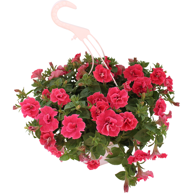 Petunia i ampel röd