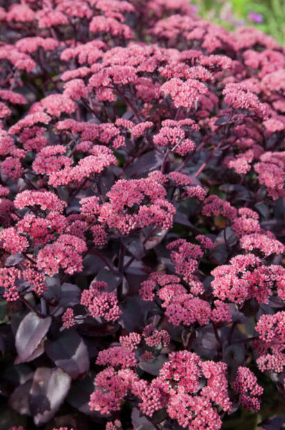 Purpurkärleksört 'Karfunkelstein', Ø11 cm, Rosa