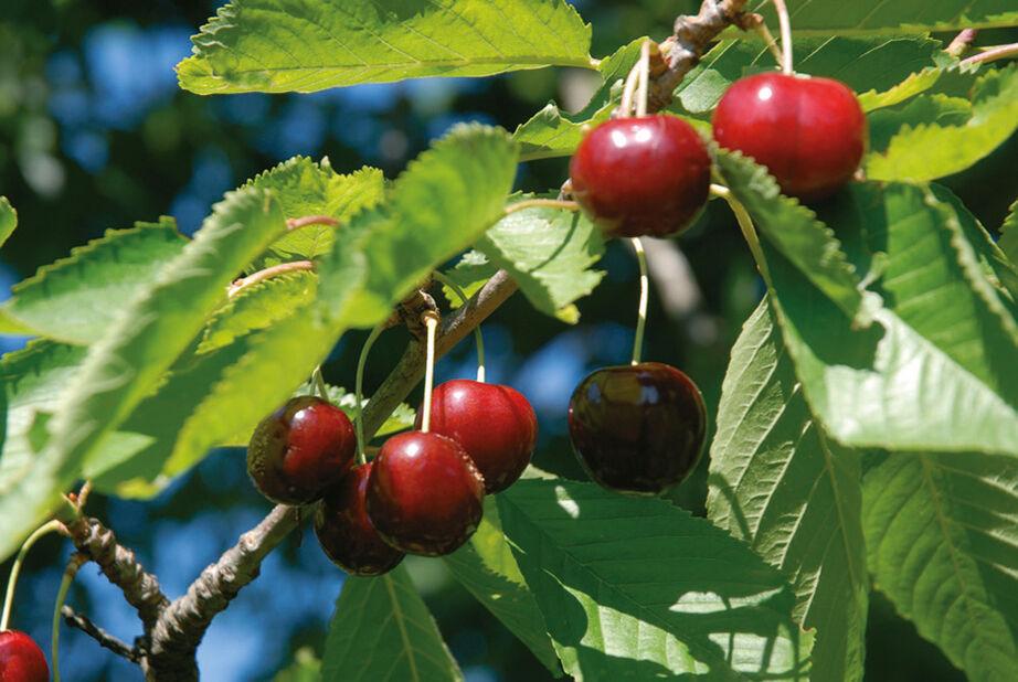 Sötkörsbär 'Stella' på spaljé, Höjd 150 cm, Röd