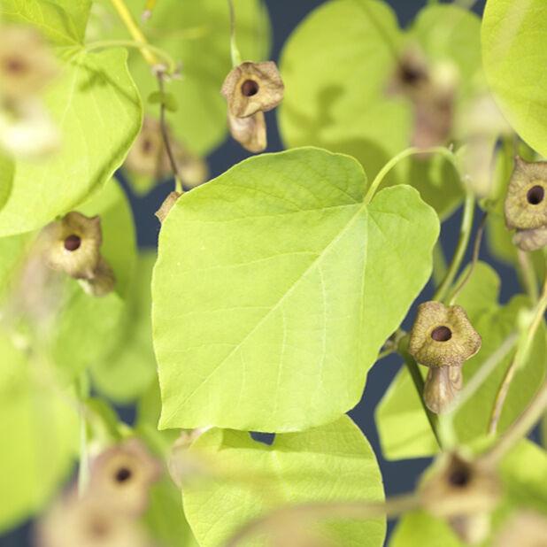 Pipranka, Ø17 cm, Grön