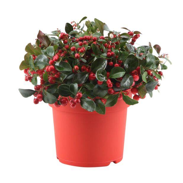 Vaktelbär 'Big Berry', Ø15 cm, Röd