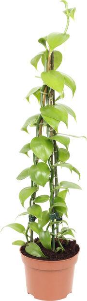 Vaniljorkidé, Höjd 45 cm, Grön