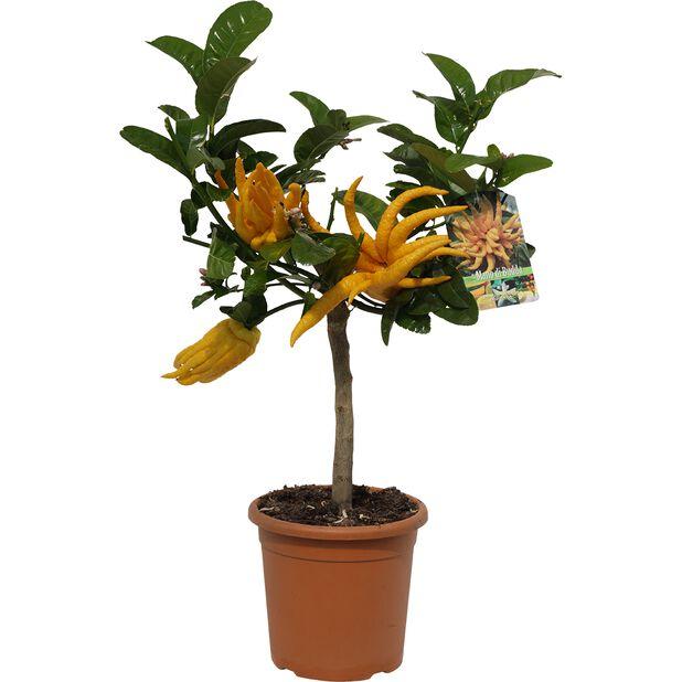 Citrusplanta 'Buddhas hand' , Ø21 cm, Gul