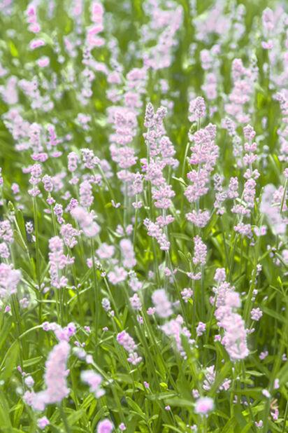 Lavendel, vit