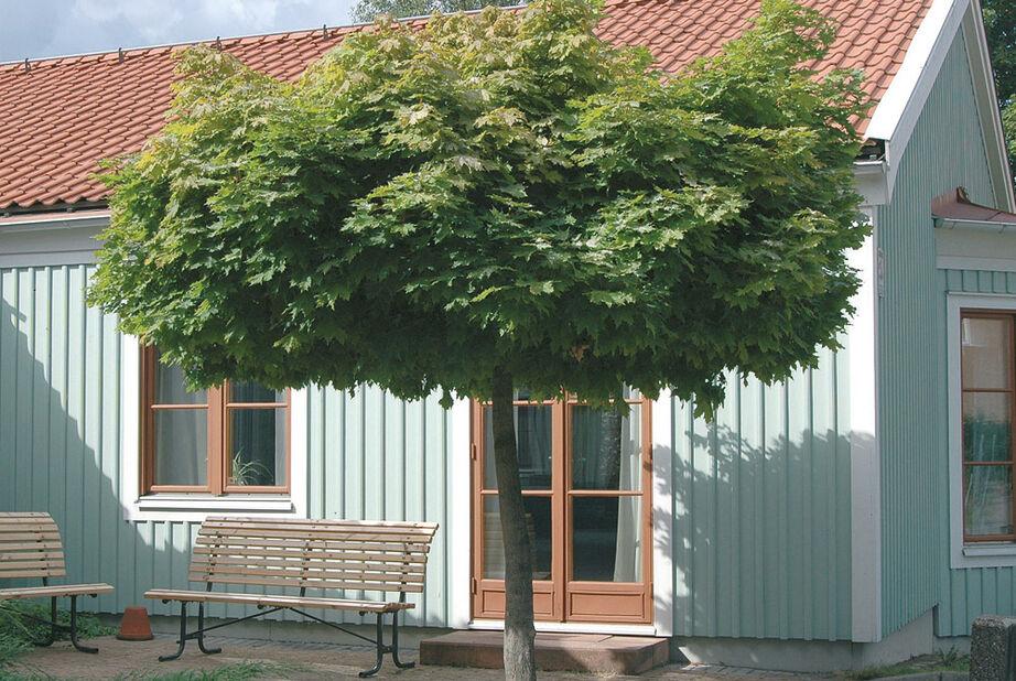 Klotlönn 'Globosum' 15L