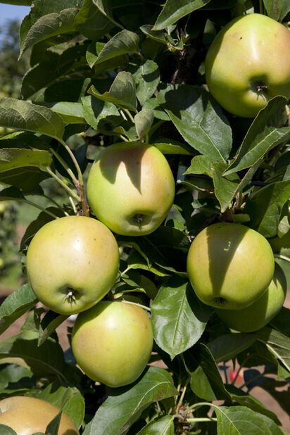 Äpple Transparente Blanche