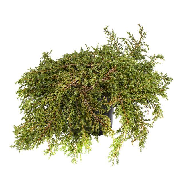 Dvärg-en 'Repanda', Ø15 cm, Grön