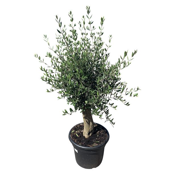 Olivträd, Höjd 150-175 cm, Grå