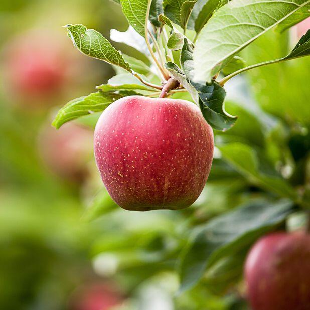 Äpple 'Folke E', Höjd 180 cm, Röd