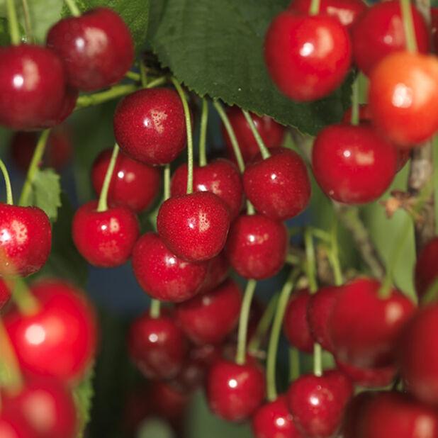Sötkörsbär 'Hedelfinger', Höjd 225 cm, Röd