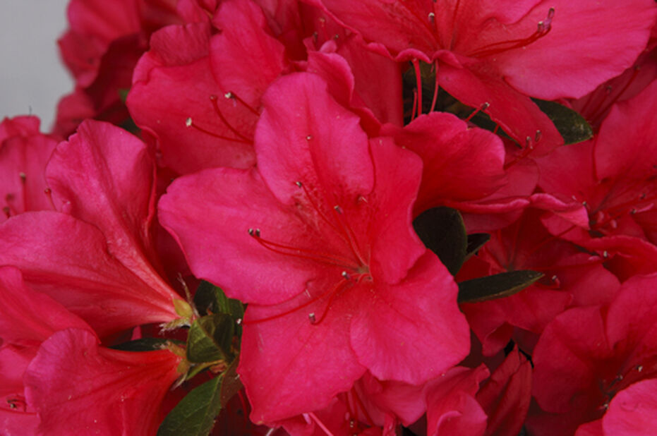 Azalea 'Arabesk', Höjd 30-40 cm, Röd