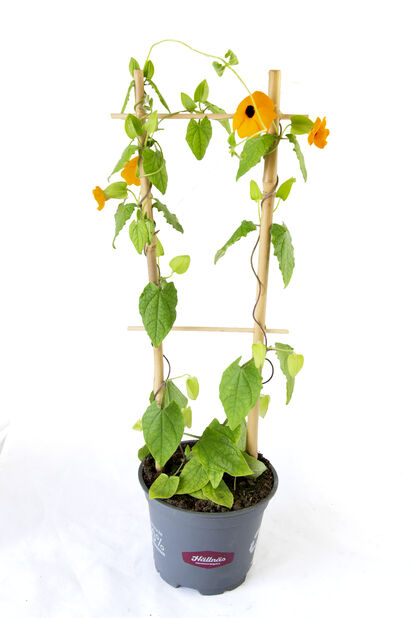 Svartöga på spaljé, Ø12 cm, Orange