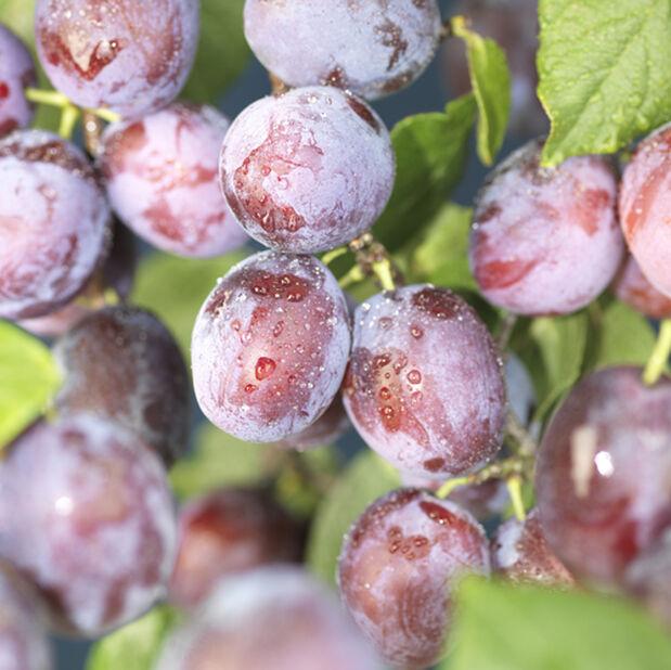 Dvärgträd plommon 'Opal', Höjd 100 cm, Röd