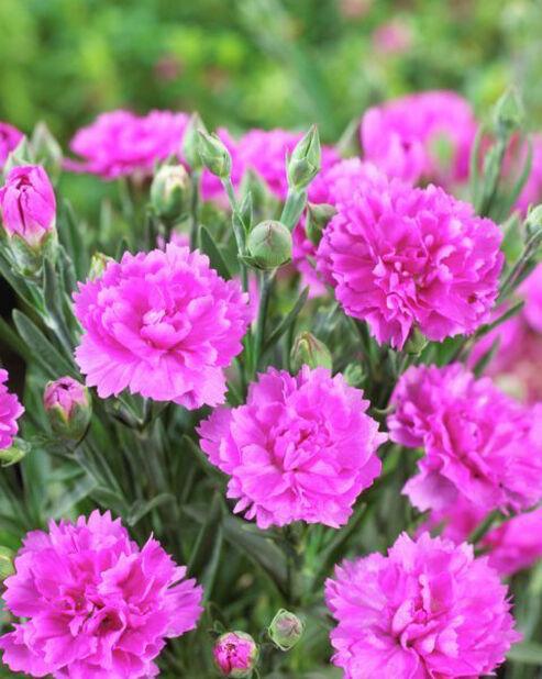 Trädgårdsnejlika 'Faganza', Höjd 15 cm, Rosa
