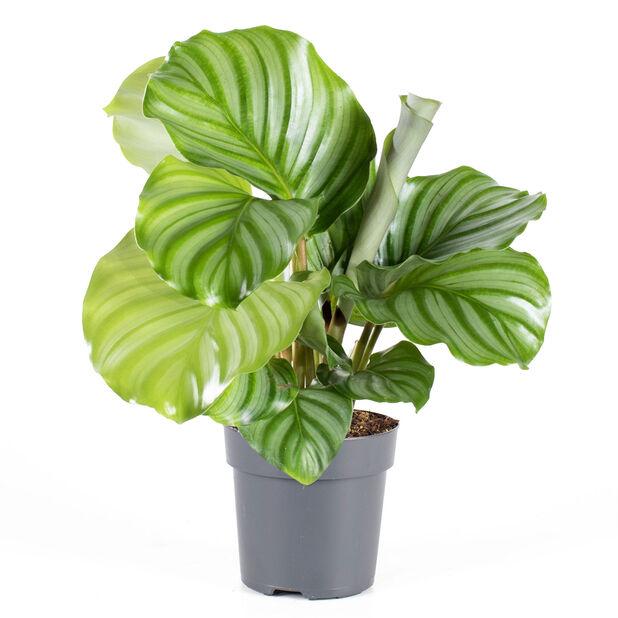 Rundkalatea, Höjd 30 cm, Grön