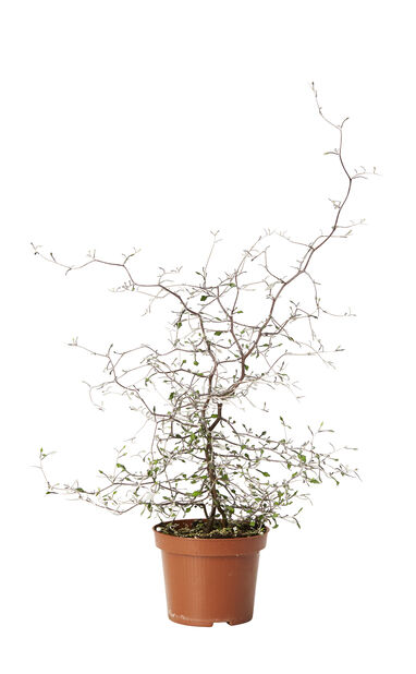 Sicksackbuske, 12 cm