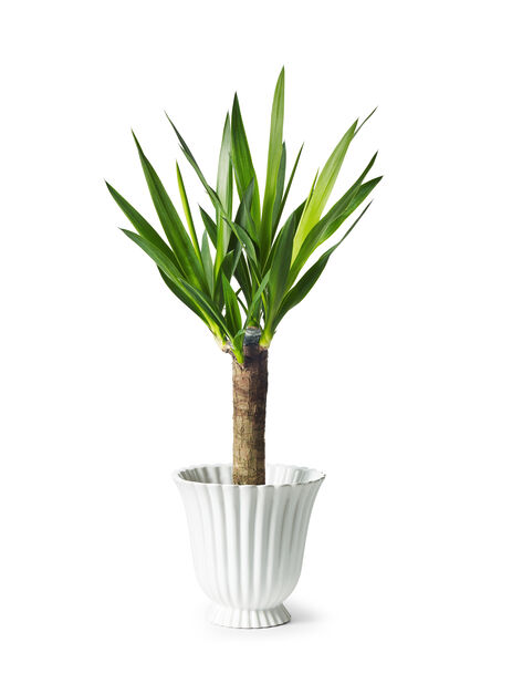 Yuccapalm, mellan