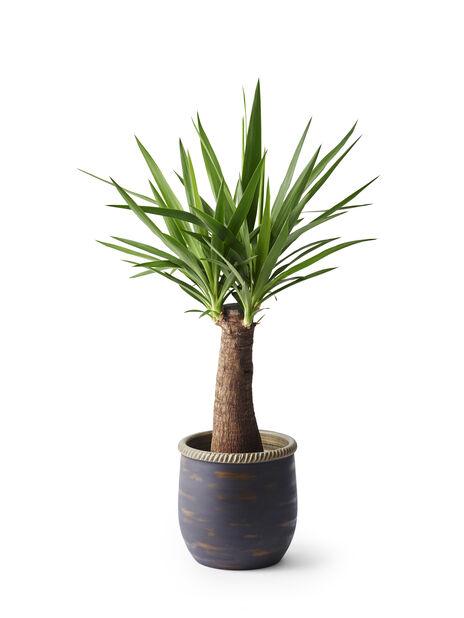 Yuccapalm, Höjd 75 cm, Grön
