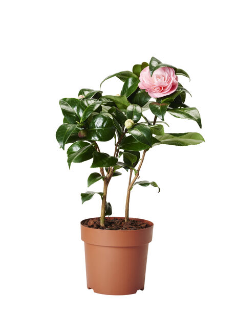 Kamelia, Ø12 cm, Rosa