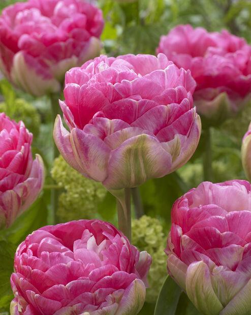 Fylld tulpan 'Pinksize', Rosa