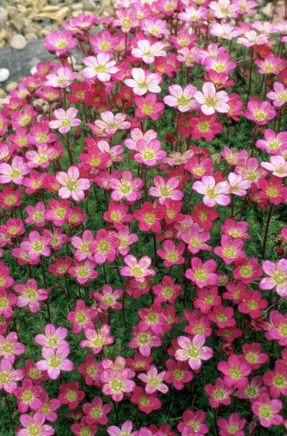 Rosenbräcka, olika sorter, Ø17 cm, Flera färger