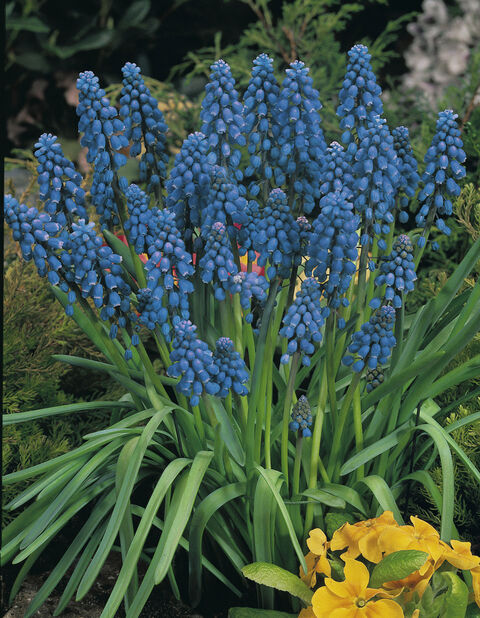 Pärlhyacint 'Blue'