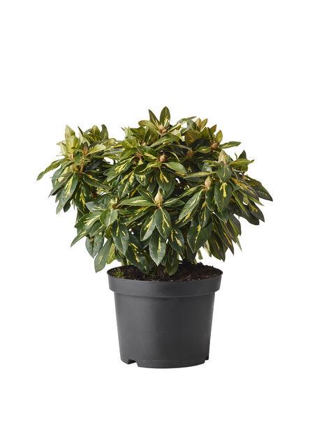 Ponticum-rododendron 'Goldflimmer', Ø23 cm, Lila