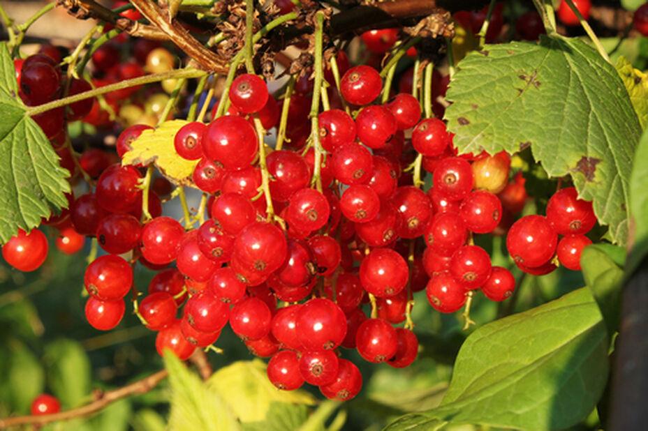 Röda vinbär 'Jonkheer van Tets' på stam, Höjd 80-100 cm, Röd