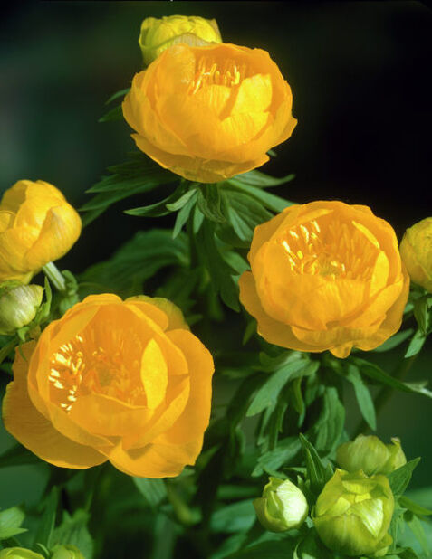 Trädgårdssmörboll 'Orange Princess', Höjd 15 cm, Orange