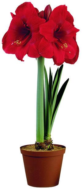 Amaryllis 20+, Röd