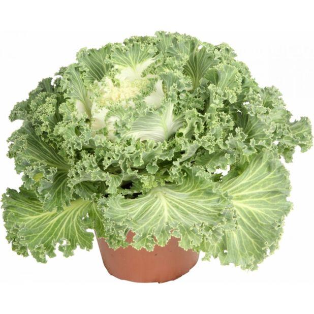 Brassica oleraca 12 cm