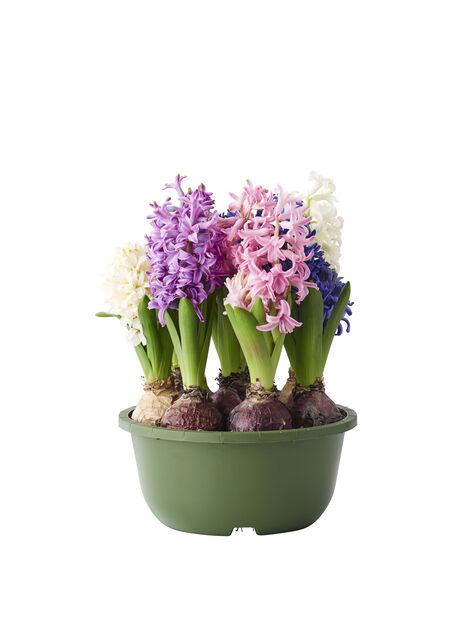 Hyacint, Ø17 cm, Flera färger