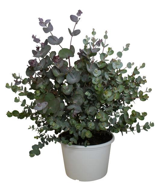 Silvereukalyptus, Ø17 cm, Grå