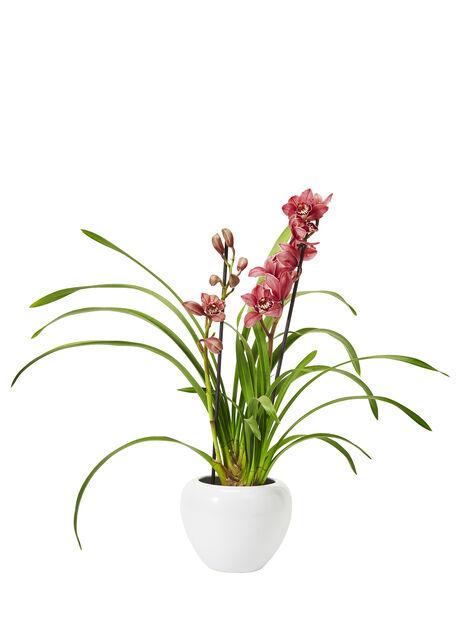 Cymbidium orkidé, Höjd 60 cm, Flera färger