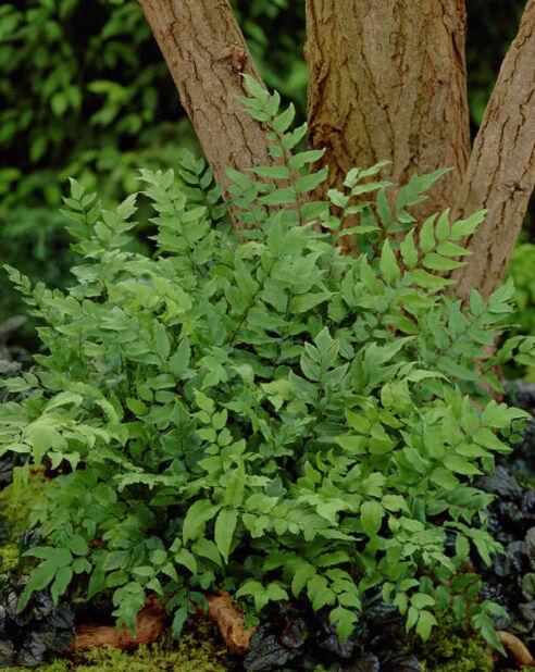 Japansk mahoniabräken, Höjd 15 cm, Grön
