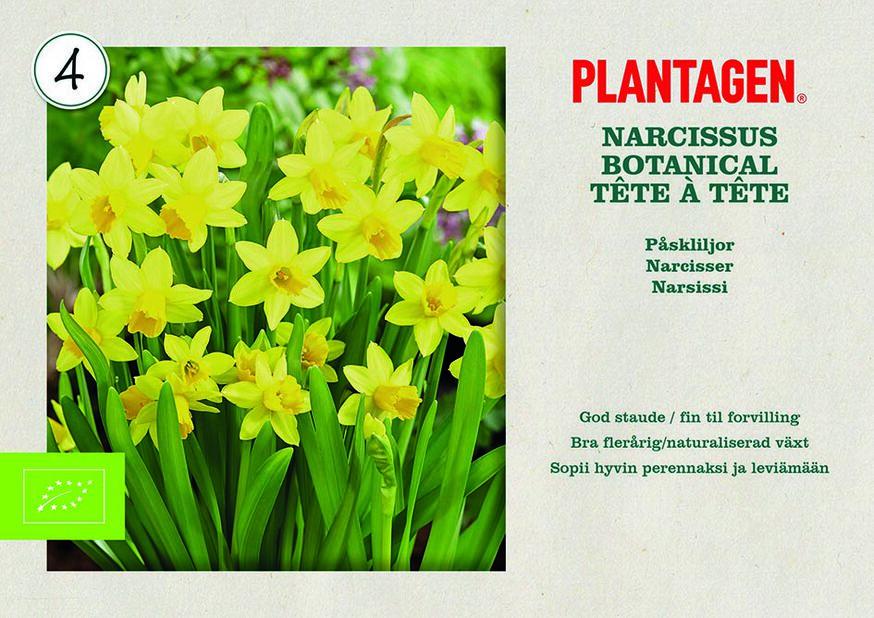 Narciss 'Tête à Tête', Gul