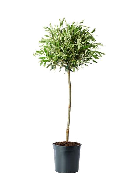 Olivträd, Höjd 80 cm, Grå
