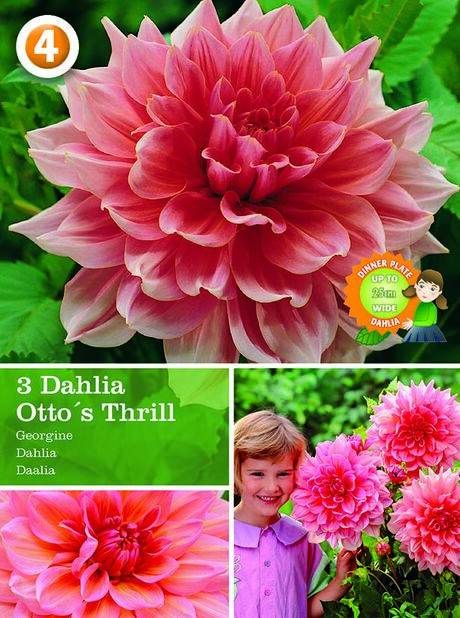 Dahlia 'Ottos Thrill', Rosa
