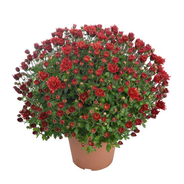 Bollkryss, Ø14 cm, Röd