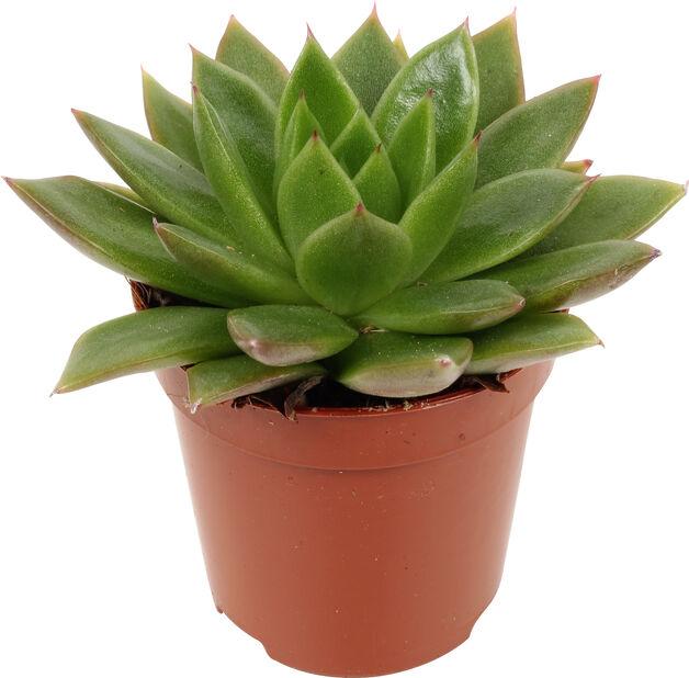 Echeveria mini, Höjd 7 cm, Flera färger
