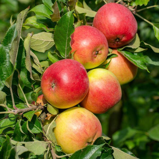 Äpple 'Fredrik', Höjd 150 cm, Röd