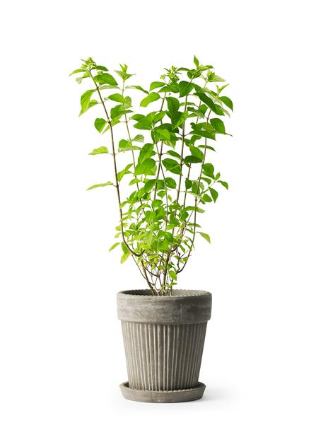 Syrenhortensia 'Grandiflora', Höjd 30 cm, Vit